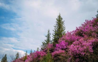 Алтай весенний. Цветение маральника на Алтае